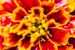 Close up of the Tagetes (marigold) flower with dewdrops Royalty Free Stock Images