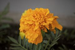Tagetes patula or Mister macestic flowers. Close-up of Tagetes patula blossom and leavesn royalty free stock images