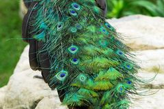 Close up tail of beautiful peacock with stones and green plants Royalty Free Stock Photography