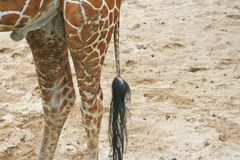 Tail of giraffe stock images