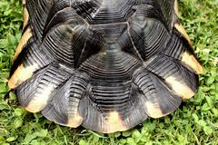 Close up on the tail of a rare terrestrial turtle. Rare terrestrial turtles in a garden stock image