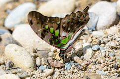 Close up Tailed Jay butterfly with have green spots on wings Stock Images