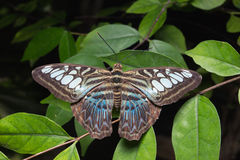 Close up of Tailed Jay (Graphium agamemnon) Stock Image