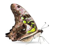 Tailed Jay Graphium agamemnon butterfly Stock Images