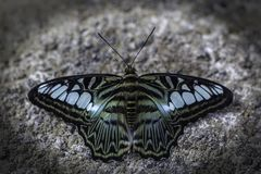 Tailed Jay Graphium agamemnon Butterfly Royalty Free Stock Images