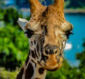 Giraffe head shot. Close up taken at the zoo in Sydney, Australia Stock Image