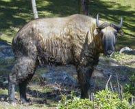 Close up on Takin, national animal of Bhutan Royalty Free Stock Photography