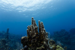 Close-up of a tall cluster of stove pipe tube sponges growing upright on the coral reef off the coast of Honduras Stock Photos