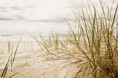 Close up of a tall grass on a beach Royalty Free Stock Images