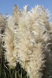 Close-Up of Tall Pampas Grass Plumes. Cortaderia Selloana or Pampas Grass with a blue sky in the background on a sunny day. Pampas Grass stems and plumes seen royalty free stock photos