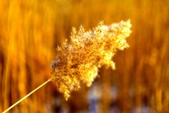 Close up of tall winter feathery grass Royalty Free Stock Photos