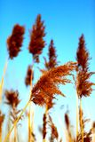 Close up of tall winter feathery grass Royalty Free Stock Image