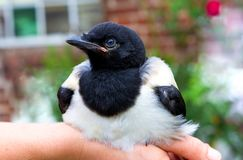 Close-up of a tame baby Magpie. royalty free stock photography