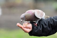 Tame pigeons inthe park. Close up of a tame pigeon feeding from a persons hand stock photography