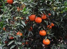 Tangerines on branch Stock Photo