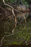 Close up tangle of Mangrove tree roots and branches growing  Royalty Free Stock Images