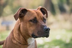 Staffy breed dog close up royalty free stock photo