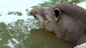 Close-up, the tapir bathes in water, in a pond. on a hot summer day,. Close-up, the tapir bathes in water, in a pond. on a hot summer day