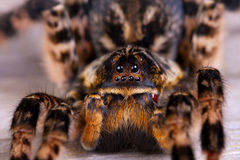 Close up of tarantula spider Royalty Free Stock Photo