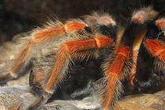 Close up Tarantula spider, Brachypelma Boehmei Royalty Free Stock Photography