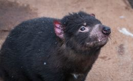Close up of Tasmanian devil royalty free stock image
