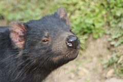 Close up of a Tasmanian Devil sniffing the air Royalty Free Stock Photography