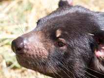 Close up of tasmanian devil Stock Photography