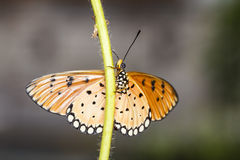Close up of Tawny Coster butterfly. Resting on host plant royalty free stock image