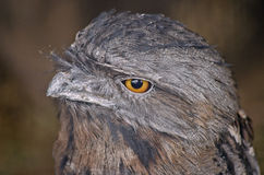 Tawny frogmouth. This is a close up of a tawny frogmouth stock image