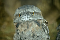 Tawny frogmouth. This is a close up of a tawny frogmouth royalty free stock photo