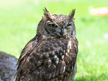Close up of a Tawny Owl Strix aluco Stock Photo