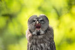 Close up of a Tawny Owl. (Strix aluco) in woods royalty free stock image