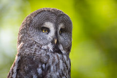 Close up of a Tawny Owl. (Strix aluco) in woods stock image