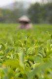 Close up of a tea bud Royalty Free Stock Photos