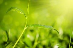 Close up tea leaf Royalty Free Stock Image