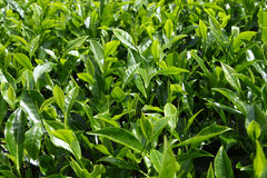 Close-up of Tea Leaves. Plantation in highlands royalty free stock photo