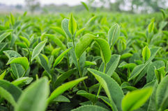 Close up tea leaves. In tea plantation Stock Images