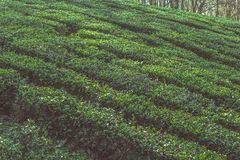 Tea plant bushes rows on a tea plantation. Close up tea plant bushes rows on a tea plantation stock photos