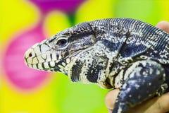 Close up tegu Royalty Free Stock Photo