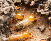 Close up termites Royalty Free Stock Photos