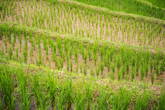 Close up terraced rice rield Chiang Mai ,Thailand Stock Images