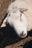 Close-up of Texel sheep Royalty Free Stock Images