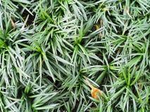 close up texture background of mini mondo grass stock photography