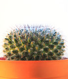 Close up texture of cactus,succulent,in clay pot on white backgr Stock Images