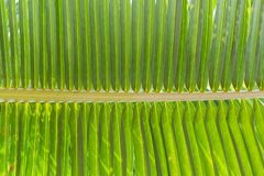 Texture of green coconut leaf Royalty Free Stock Photos