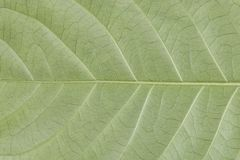 Texture green leaf for background Royalty Free Stock Photos