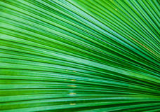 Close up Texture of Green palm Leaf Stock Images