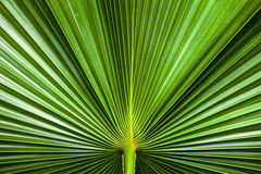 Close up Texture of Green palm Leaf Stock Photos