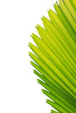 Close up texture of green palm leaf isolated on white Royalty Free Stock Image