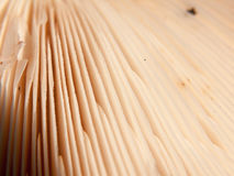 Close up texture and lined pattern of the underside of a wild mu royalty free stock photography